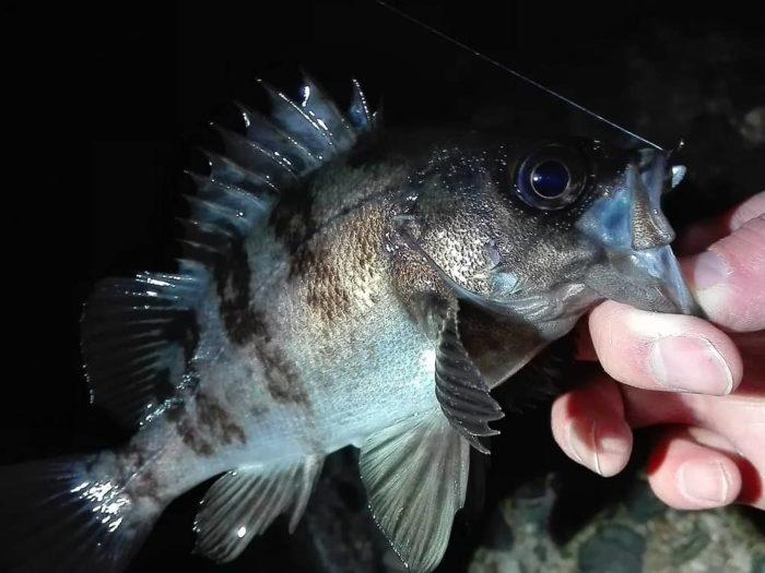 黒色の魚体がアングラーを魅了する【メバル】