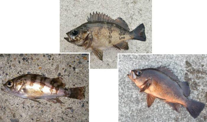 波止釣りで良く釣れるメバル3種類