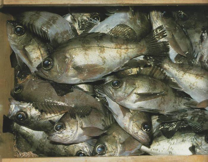 メバルは条件が噛みあえば大漁になることも!