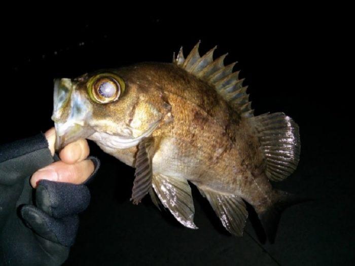 メバルは夜行性の魚で基本は夜釣り