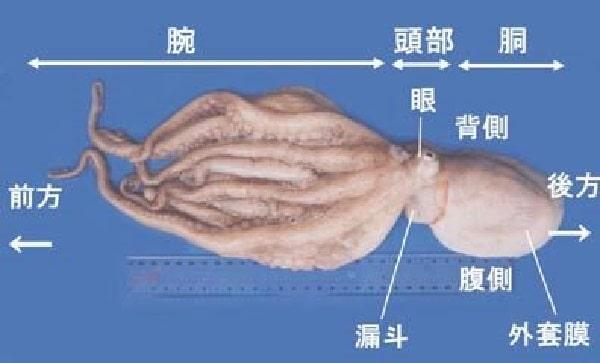タコの外観と特徴