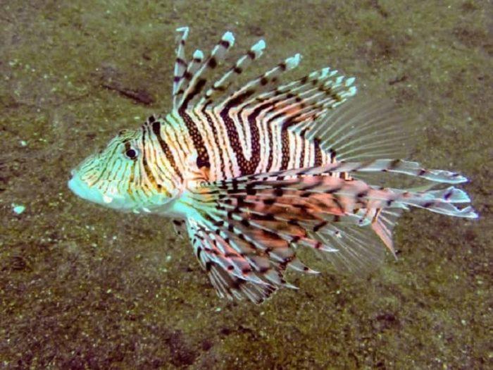 毒の棘を持つ魚【ミノカサゴ】