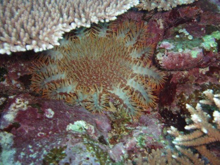 毒の棘を持つ海洋生物【オニヒトデ】