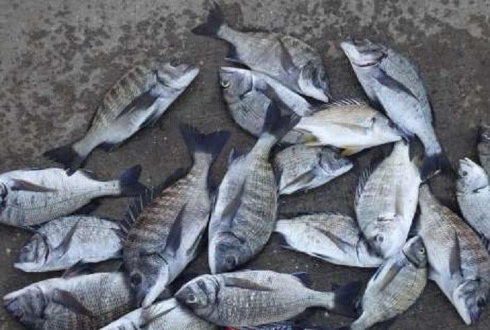 釣り方次第で数釣り可能な8月のチヌ