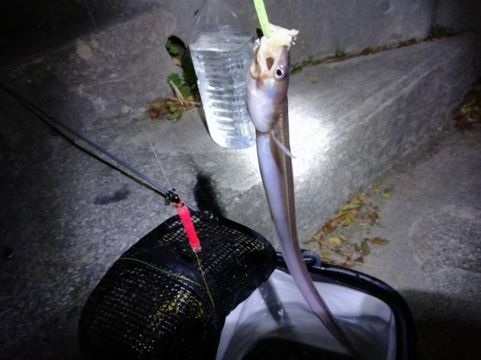 夏の夜釣りで数釣り可能なアナゴ