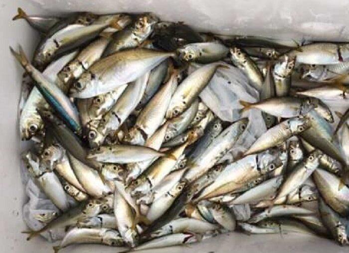 秋の堤防釣りではアジなどの青魚も成長