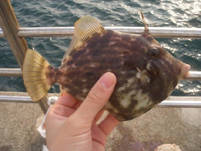 堤防釣りでは秋がベストシーズンのカワハギ
