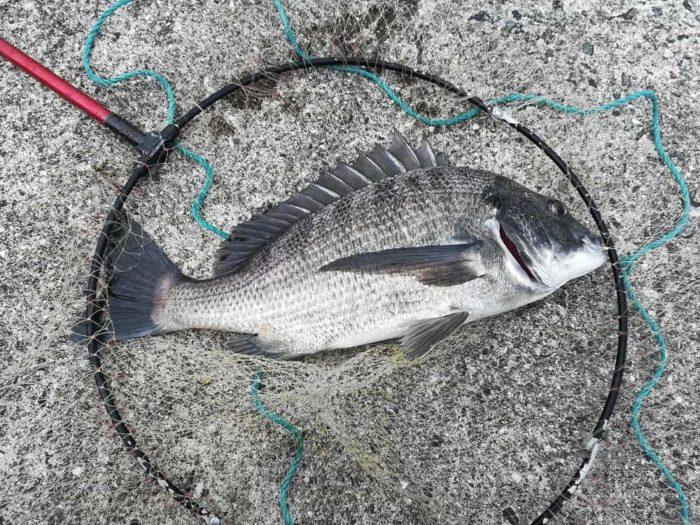 海が荒れても釣果が期待できる黒鯛(チヌ)