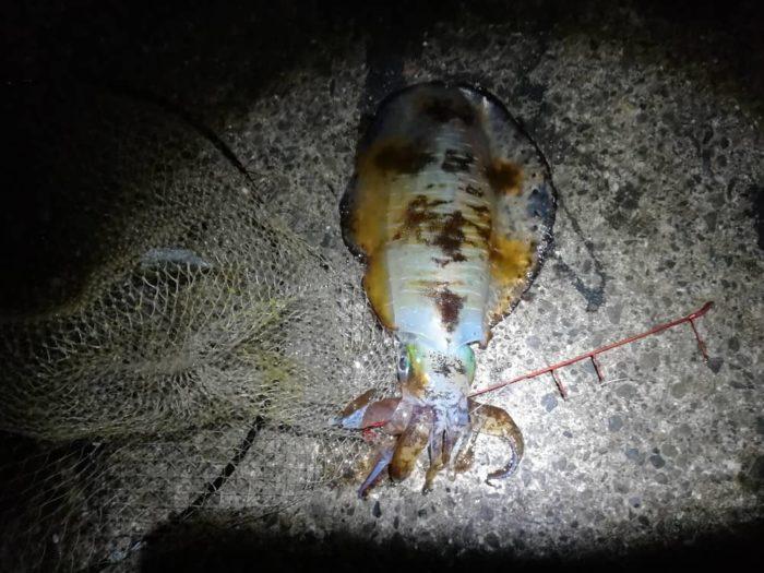 ヤエン釣りが良い12月のアオリイカ