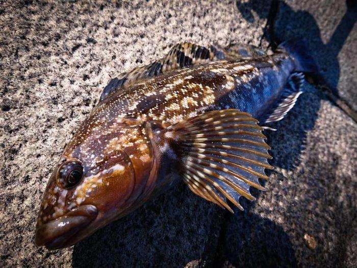 冬の代表魚アイナメは良型期待