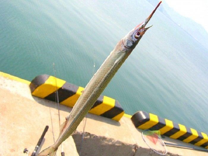 11月のサヨリは高級魚の閂に出会えるチャンス