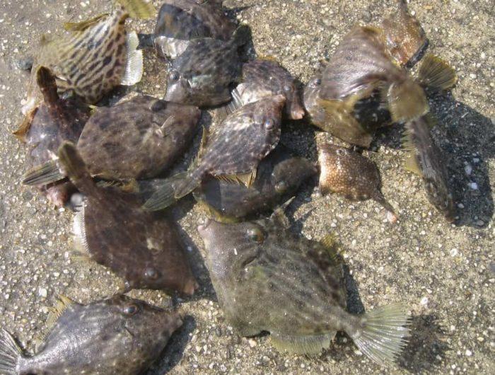 10月のカワハギは数釣りを楽しめる