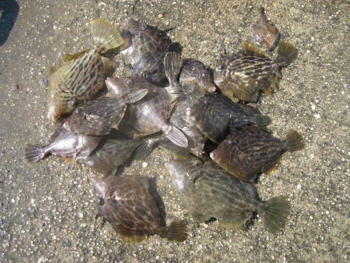 堤防釣りでは夏の終わりが良いカワハギ