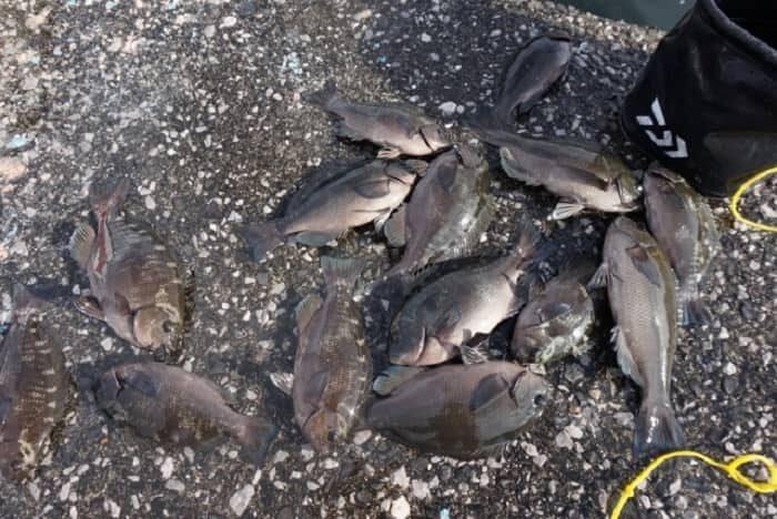 堤防釣りでは初夏に良く釣れるグレ