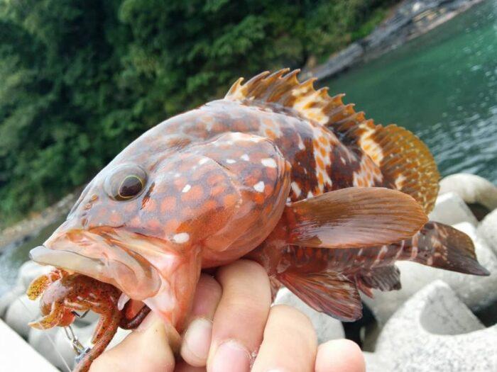 高級魚アコウは夏のターゲット