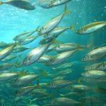 アジは回遊性の魚