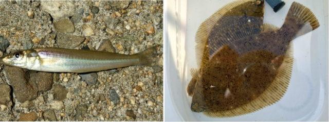 底物の人気魚はキスとカレイ