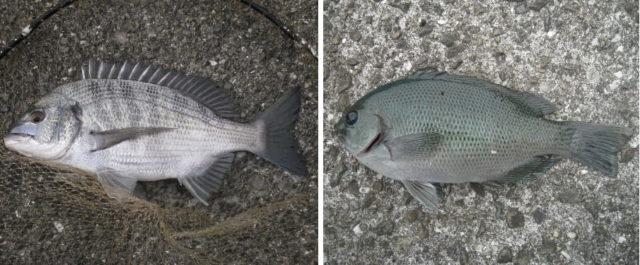 上物の人気魚チヌ(クロダイ)とグレ(メジナ)